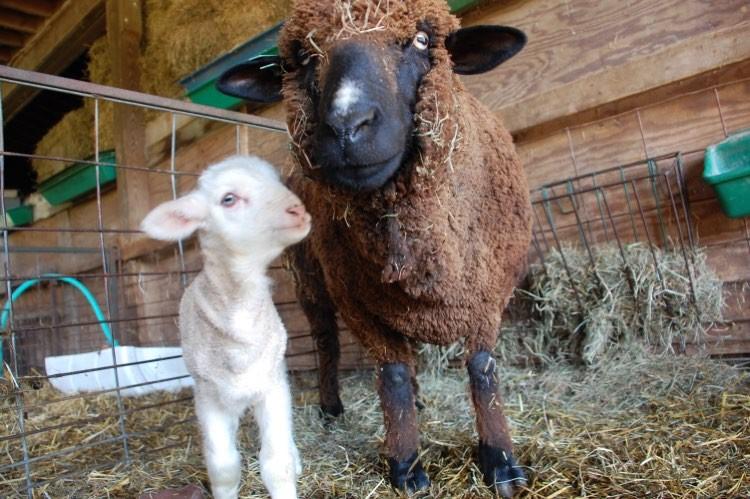 Brown Merino ewe with her daughter, a white Merino named Harriet